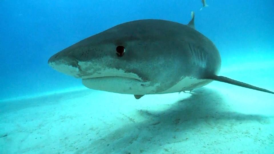 電磁波でサメを撃退?「シャークバンズ」 が話題