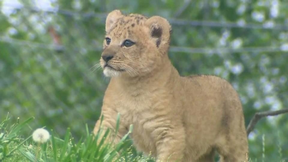 ライオンの赤ちゃん 初お目見え