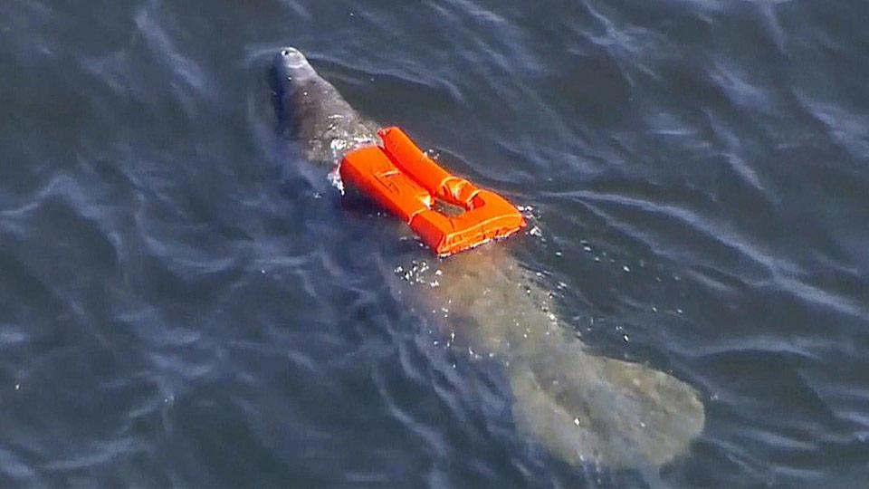 「沈めない...」 悲劇のマナティーを救出