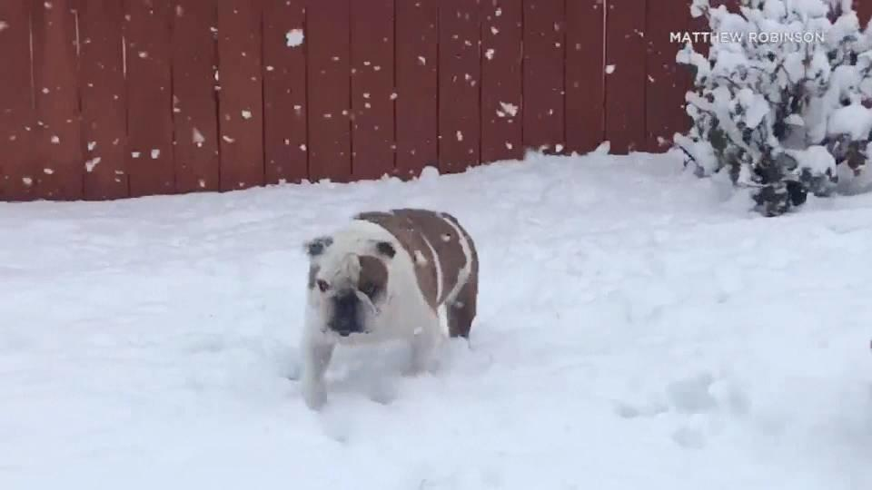 ブル、雪に喜ぶ。