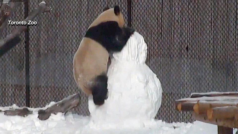 パンダ、雪だるまと闘う