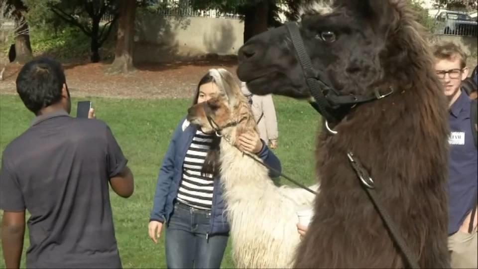 ラマで試験期間のストレスを解消 / Llama therapy