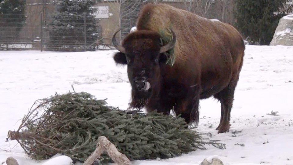 クリスマスツリーを動物園で再利用?