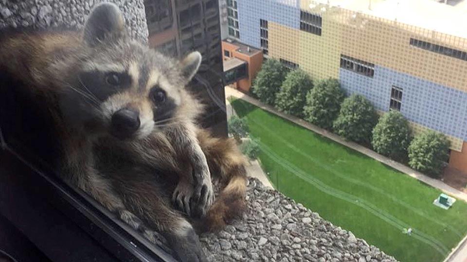 アライグマが高層ビルをよじ登る / Raccoon on high-rise