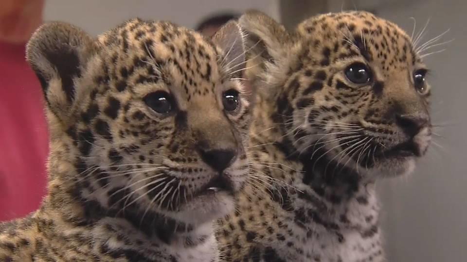 ジャガーの赤ちゃん!!