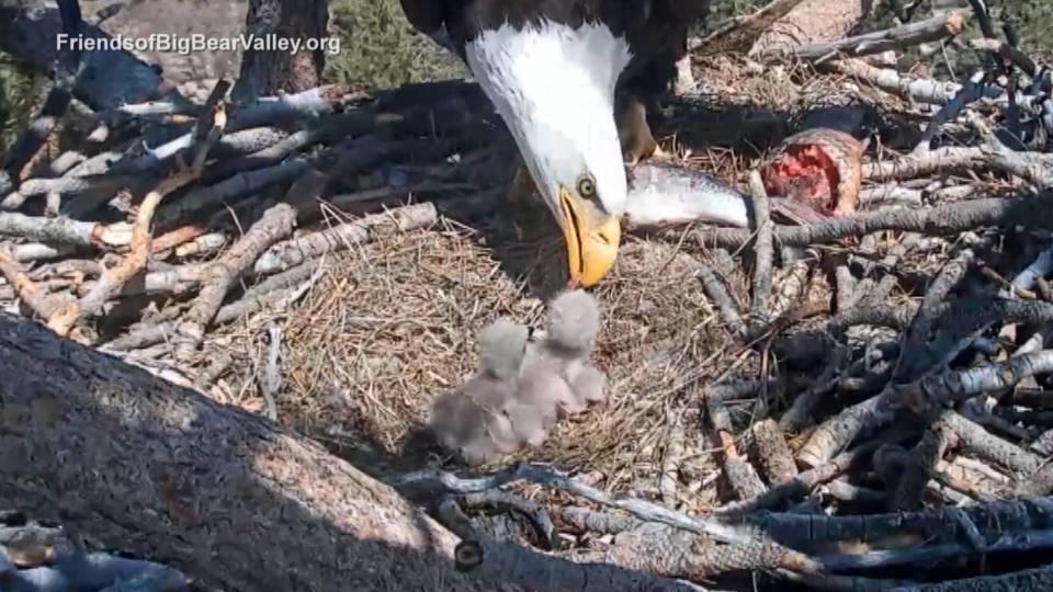 ハクトウワシのヒナ誕生/Bald Eagle chick born
