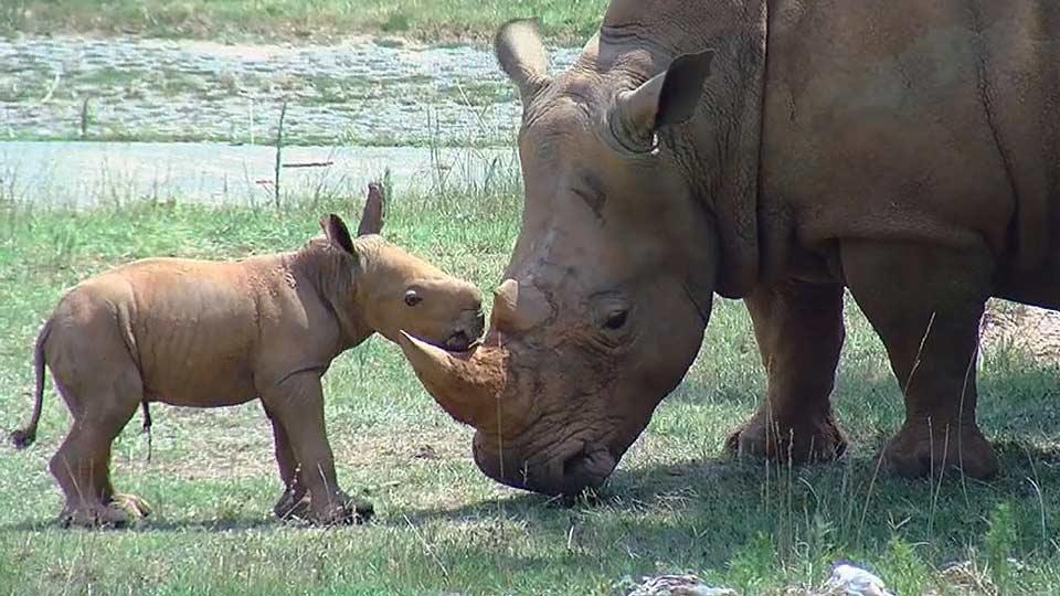 シロサイの赤ちゃん初お目見え! / Meet the rhino babies!