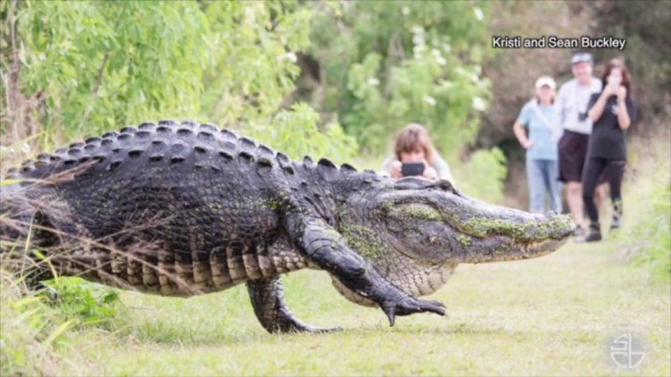 フロリダの公園に巨大ワニ出現!