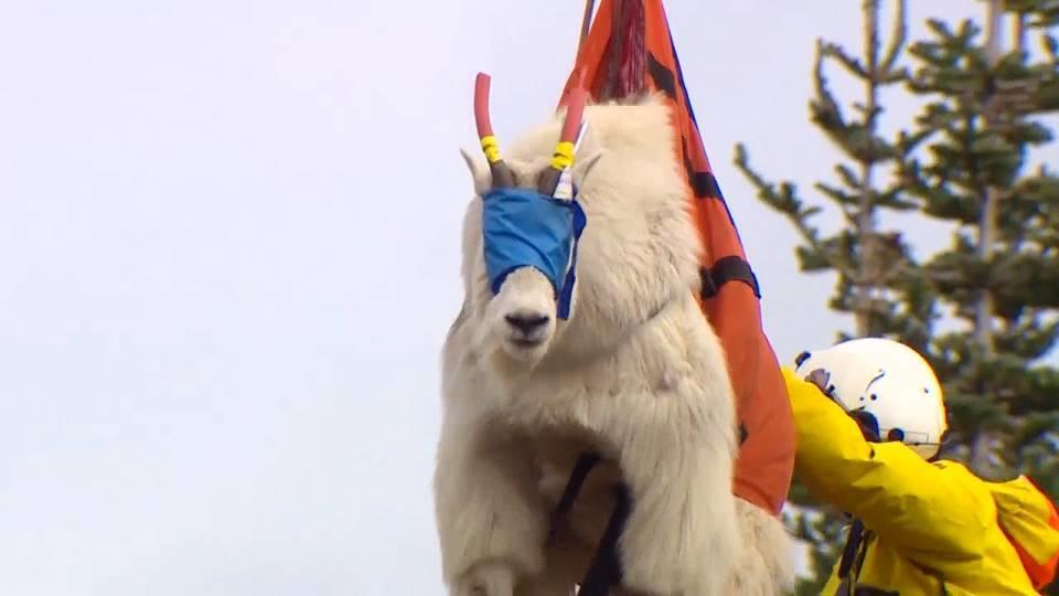 ヘリがヤギを吊る。 / Helicopters fly goats