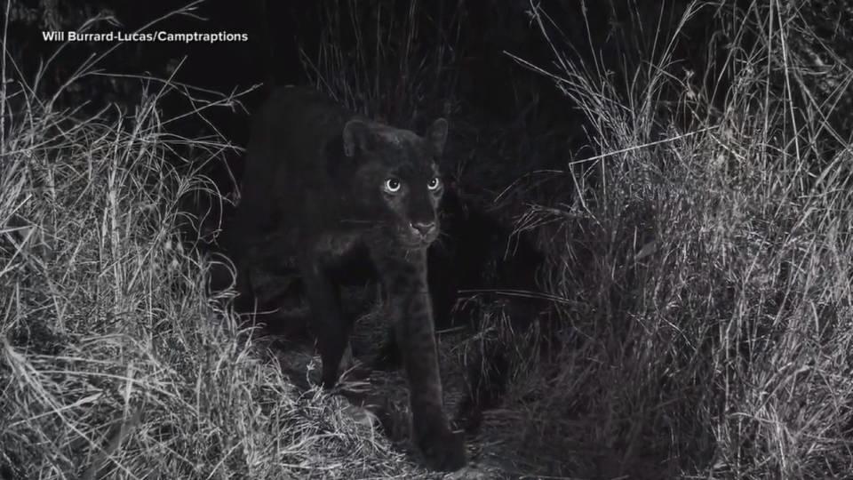リアルブラックパンサー現る / Real Black Panther