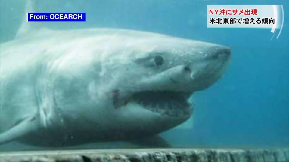 夏本番を前に... ニューヨーク沖にサメ出現 / Great white shark spotted near NY