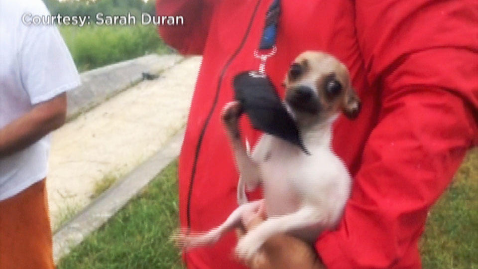 取材記者が子犬を救出 / Chihuahua rescued by reporters