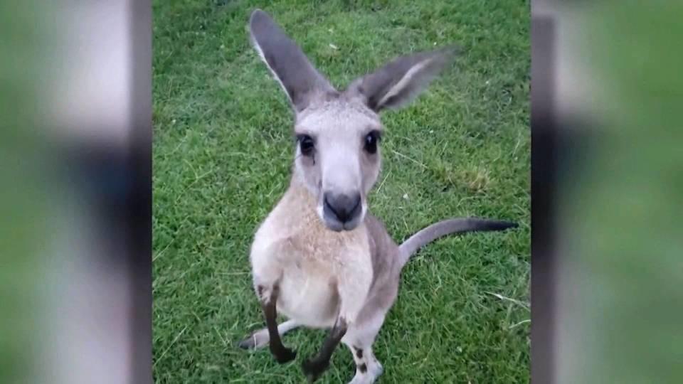 カンガルーが逃げた / Kangaroo on the loose
