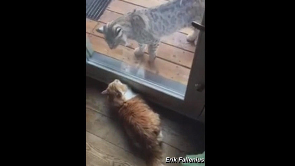 山猫VS飼い猫 ガラス越しの