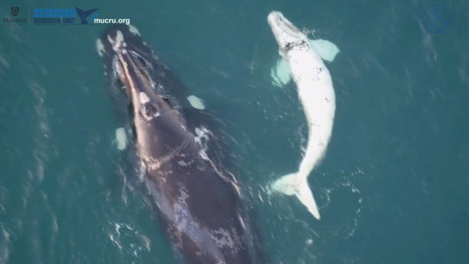 海洋に「白クジラ」発見 オーストラリア