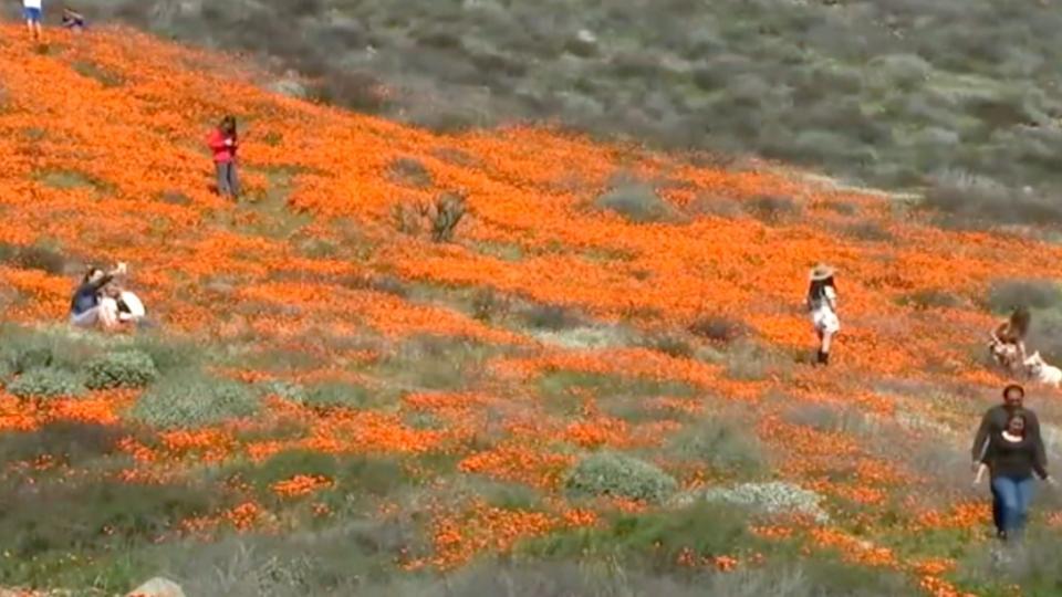 カリフォルニアでケシの花が満開 / Poppy blooms in California