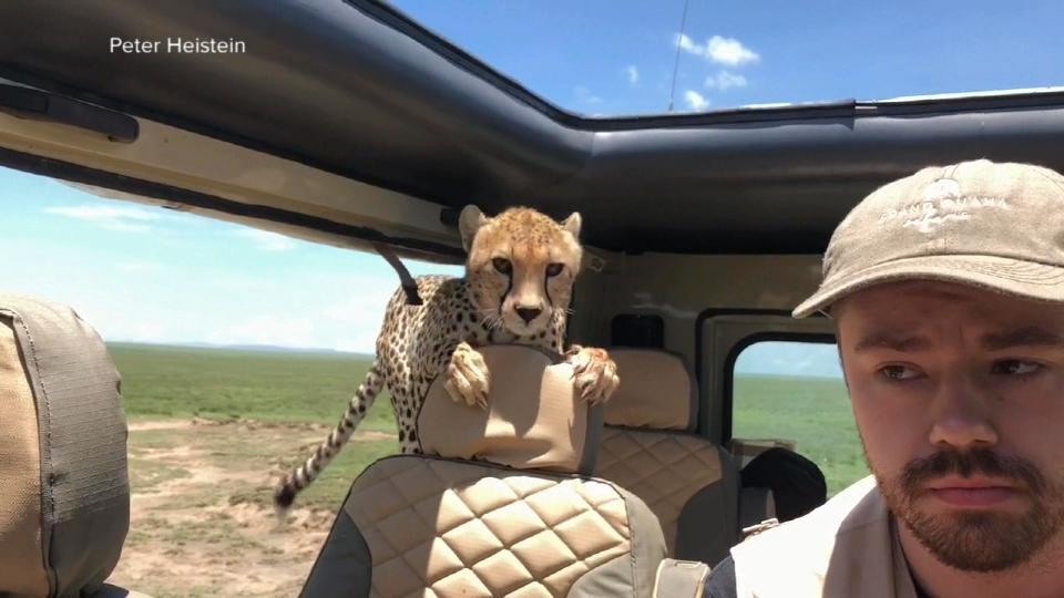 サファリパークでチーターが車に!/  Cheetah jumps into safari car